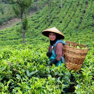 Tea Plantations of Assam