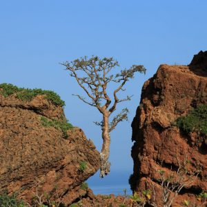 Frankincense Tree Socotra Yemen